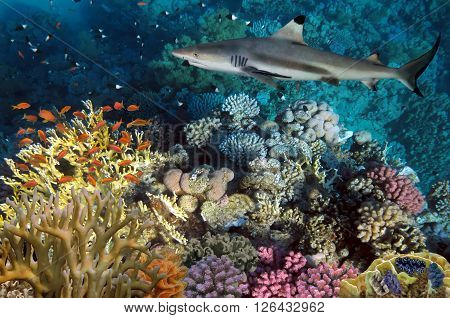 colorful underwater coral reef and big angry hungry shark.