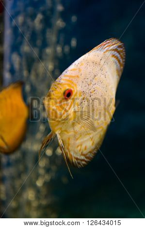 Picture of beautiful discus tropical fish in aquarium