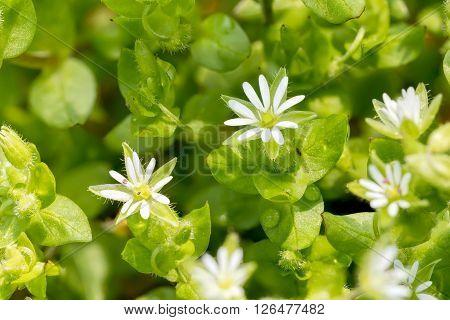 White Stellaria Media Flowers