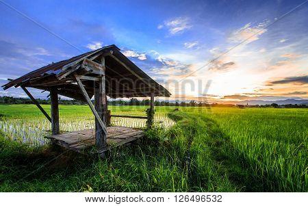Thai Farmer Hut In Rice  Field With Sunset Scene