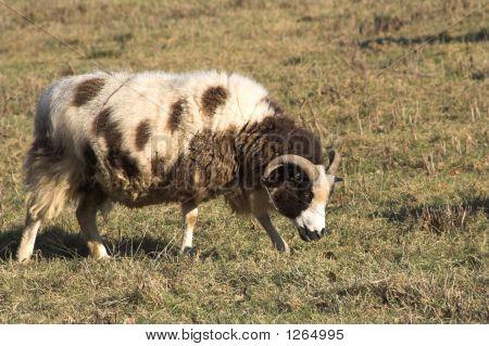 jacob sheep full fleece and slightly dirty poster