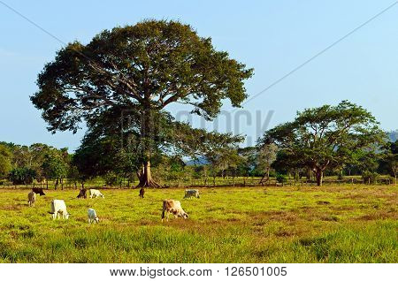 Extensive cattle farming in tropical climate of Costa Rica (Guanacaste region).
