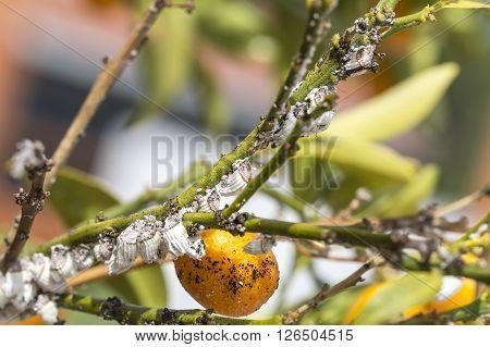Pest Mealybug Closeup On The Citrus Tree.