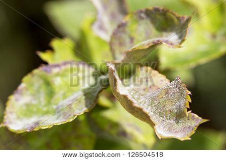 Pests plants diseases. Powdery mildew close up.