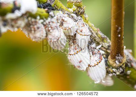 Pest mealybug closeup on the citrus tree. poster