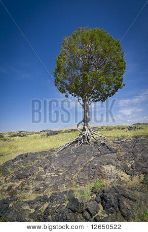 Large tree in desert