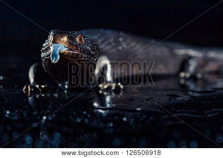 Black blue tongued lizard in wet dark shiny environement