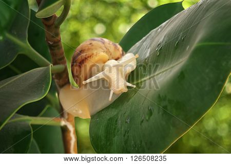 Achatina snail close-up in the green plant