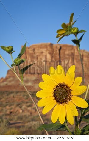 Sunflower And Red Rock