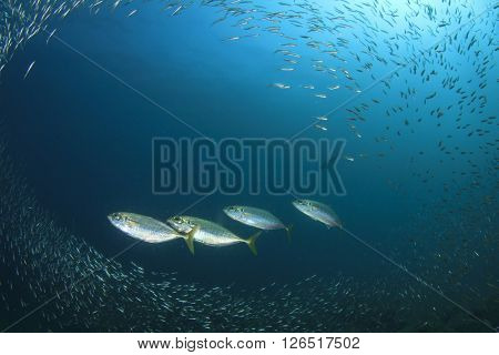 Mackerels hunting sardines fish in ocean
