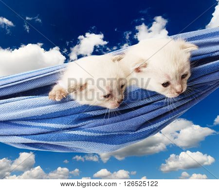 Two white kittens in a hammock. Cute white kittens in a blue hammock having rest, look down, curious at blue sky background. Adorable pets. Small heartwarming kitten. Little cats. High key