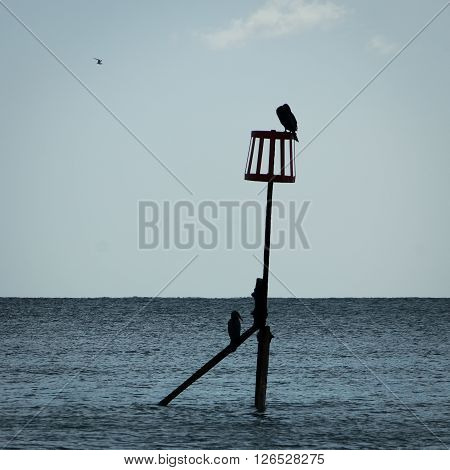 Silhouetted Cormorants (Phalacrocorax) perching on a sea defence