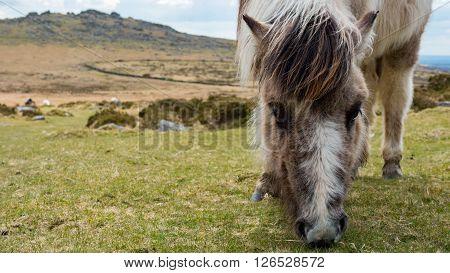 A wild dartmoor pony grazing grass on the moors