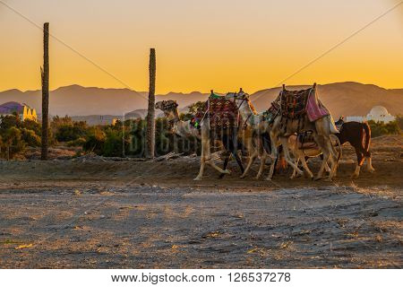 Camels going home at sunset from a beach where tourists rode on them - Marsa Alam, Egypt