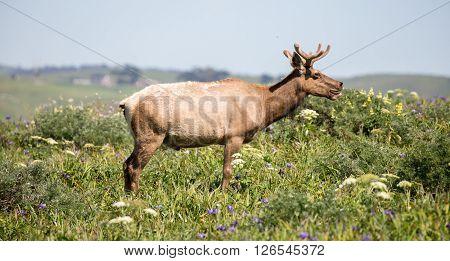 Tule Elk Bull - Cervus canadensis nannodes, Point Reyes National Seashore, California