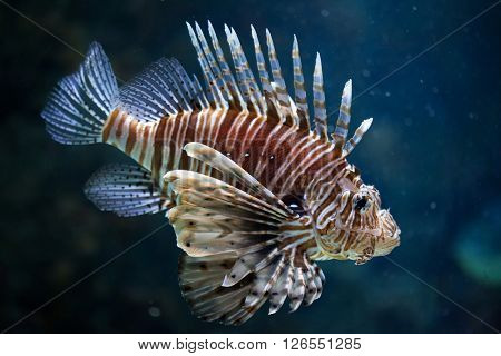 Red lionfish (Pterois volitans). Wild life animal.