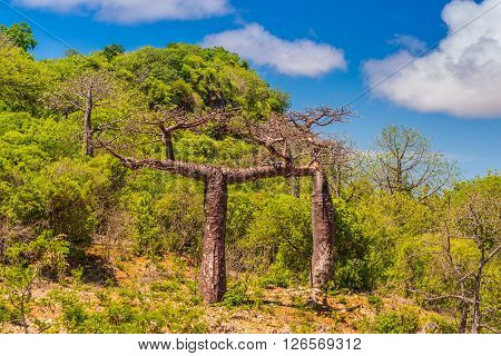 Baobab trees in Madagascar. Baobab is the common name for each of the nine species of tree in the genus Adansonia.