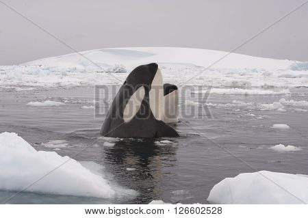 Two Killer whales spy hanting in Antarctica