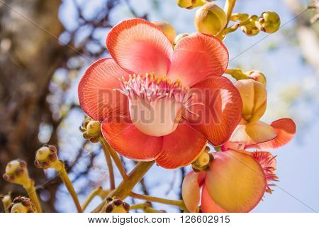 Close-Up Of The Couroupita Guianensis Or Cannonball Tree.