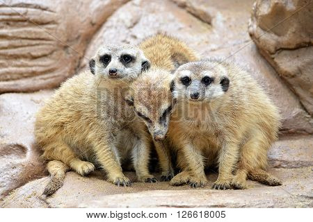 There are 3 meerkats on the rocks. Warm meerkat family.