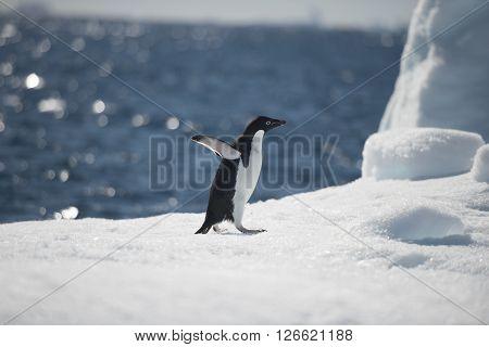 Adelie Penguins on the iceberg in Antarcdtica