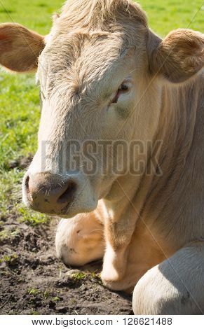 Portrait of a light brown heifer satisfied ruminating lying in the meadow with fresh green grass on a sunny day in the spring season.