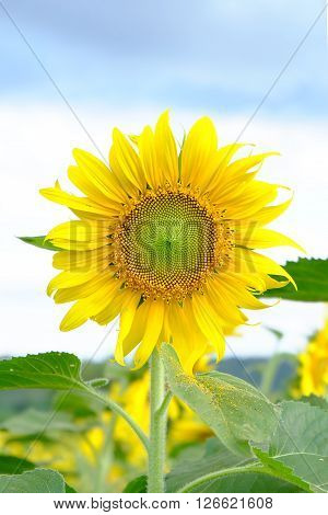 sunflowers,sunflower, Beautiful Sunflowers blooming in the field