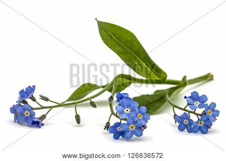 Light blue flowers of Forget-me-not (Myosotis arvensis) isolated on white background