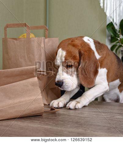 Beagle In Kitchen