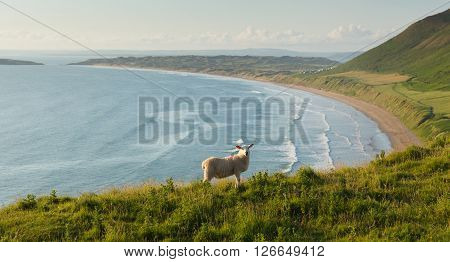 Rhossili beach The Gower South Wales UK with welsh sheep and overlooking the bay at this popular Welsh holiday destination