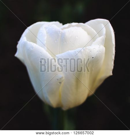White tulip in the flower bed on dark background close up.