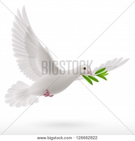 Dove of peace flying with a green twig after flood on a white background