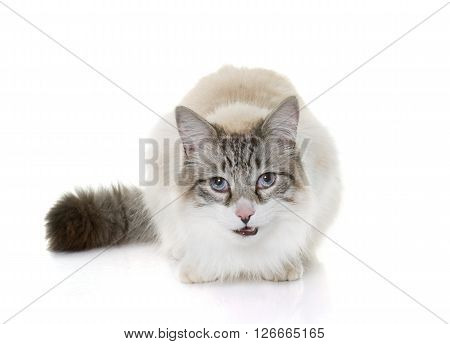 hungry ragdoll cat in front of white background