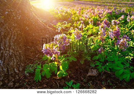 Mauve lowers of Corydalis halleri near the tree roots under sunlight in the forest. Spring landscape. Soft focus at the central flowers. Shallow depth of field.