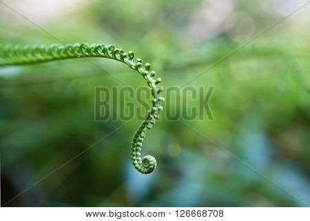 Young fern frond uncurling