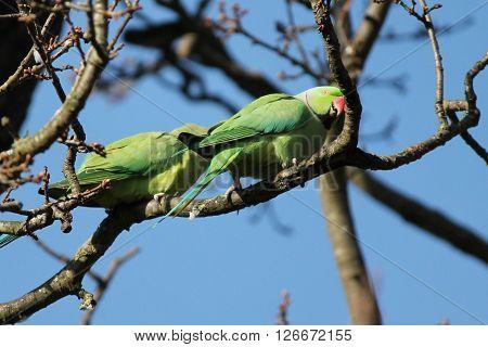 .rose-ringed Parakeet (psittacula Krameri), Known As The Ring-necked Parakeet, Is A Gregarious Afro-