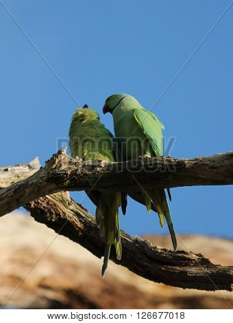 The rose-ringed parakeet (Psittacula krameri) known as the ring-necked parakeet is a gregarious Afro-Asian parakeet species that has an extremely large range. They have a distinctive green colour.