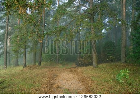 Morning in a wild forest covert. Nature trees in morning fog.
