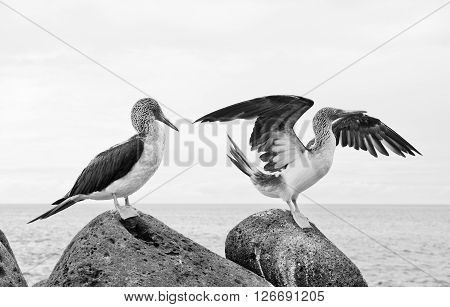 Blue-footed booby in courtship dance on the rocks Galapagos