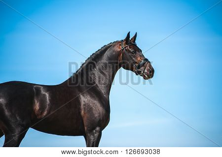 Portrait of beautiful handsome black horse against the blue sky. Sport horse bridle with black braided mane