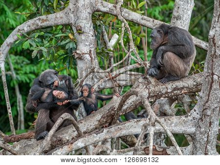 Chimpanzee With A Cub On Mangrove Branches. Mother-chimpanzee Sits And Holds On Hands Of The Kid. Ch