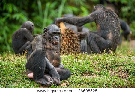 The Bonobo ( Pan Paniscus) Family, Called The Pygmy Chimpanzee.