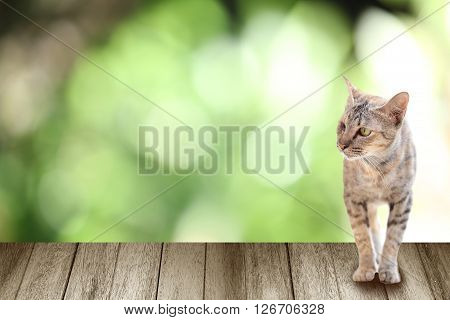 cat standing on vintage wood in country of Thailand