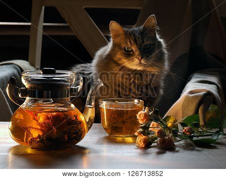 Green tea is brewed in a transparent chaynike.Zavarka in the form of a flower. On the table with a cup of tea, rose flowers. Still life. big cat sits nearby. Evening, evening light