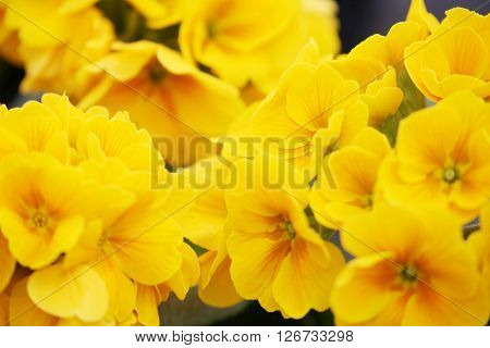 Fancy a greater amount of early evening primrose flowers and the
