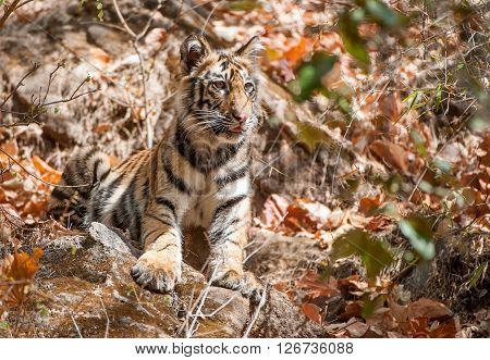 Bengal Tiger Cub In Natural Habitat. The Bengal (indian) Tiger Panthera Tigris Tigris.