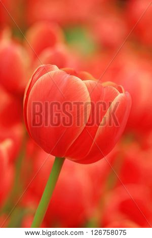 The Red tulip flower Garden in Thailand on Sunny day