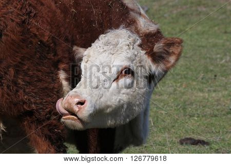 Hereford cow, face area, tongue out, licking itself.
