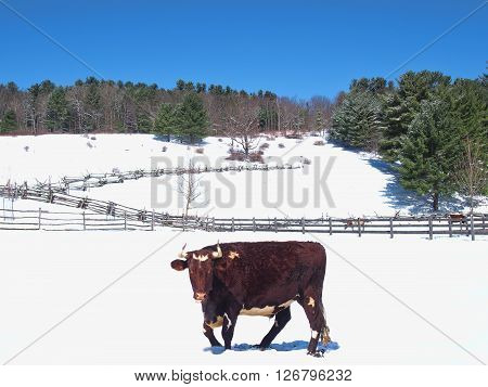bull in a pasture in the wintertime