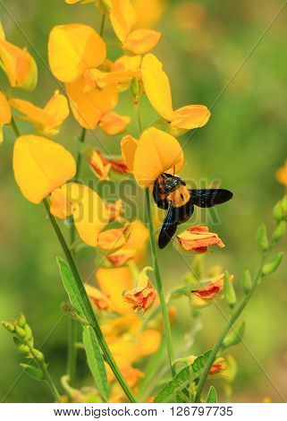 The Yellow flower Garden with Bee in Thailand on Sunny day